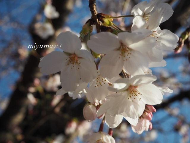 ご近所さんの桜