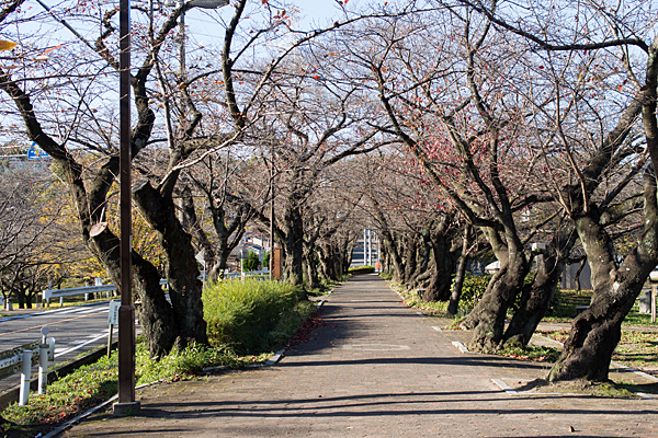 雨池桜並木