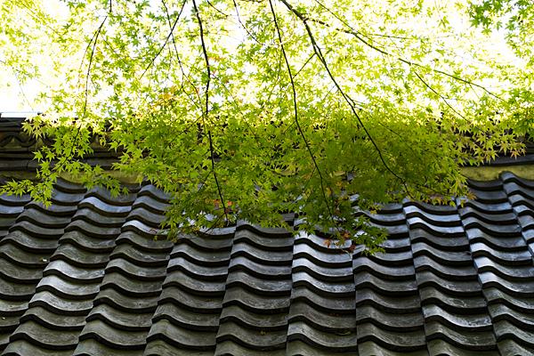 屋根瓦と青葉モミジ