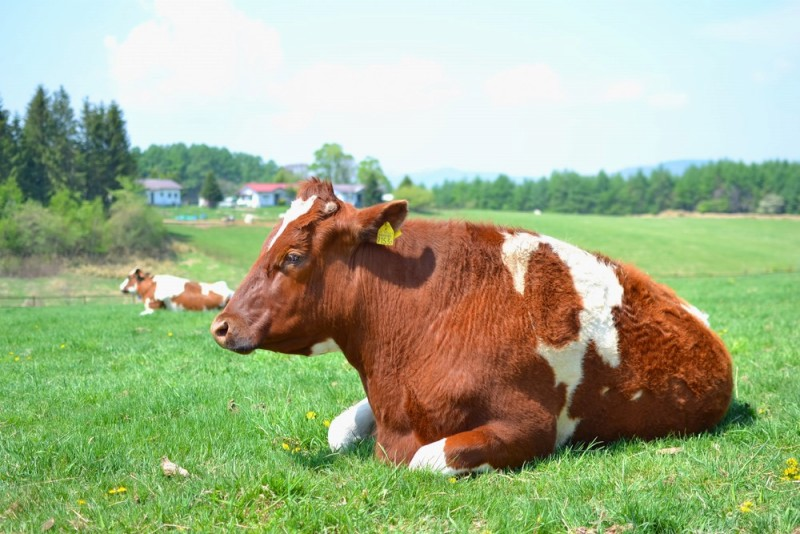 牧場の牛さん